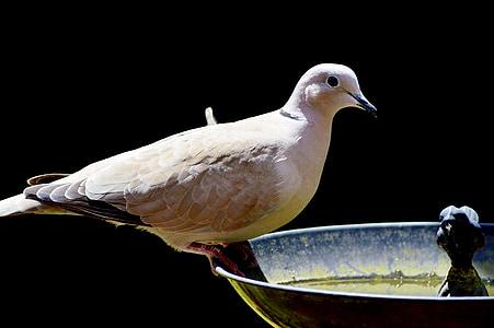 Dove, lintu, Bahianjokihaukka, Luonto, kaupungin kyyhkynen, siipikarjan, siipi