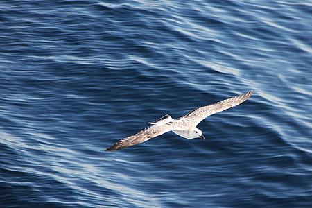 lokki, lento, Sea, lentää, lintu, vesilintu, lennon