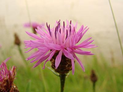 flower, red, wild flower, flowers, wild flowers, pink