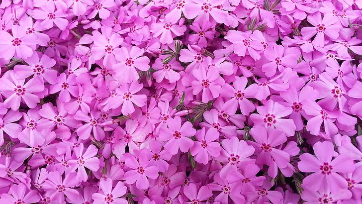 flors, Rosa, primavera, plantes, natura, fons, flor