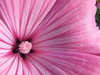 ชบา, ชบาสีชมพู, ดอกไม้, ดอก, บาน