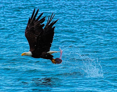 catch of the day, bald eagle, hunting, fishing, nature, eagle, fish