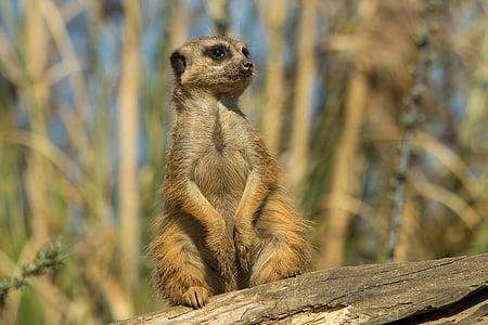 Meerkat, Zoo, looma, loodus, Nunnu, imetaja, uudishimulik