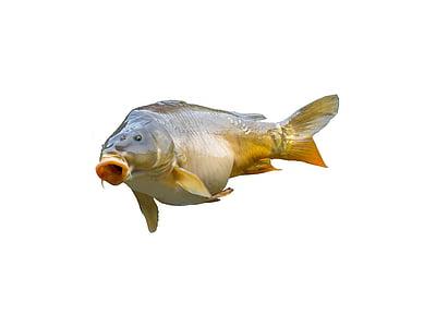 carp, angler, fischer, fish, fishing, food, catch fish