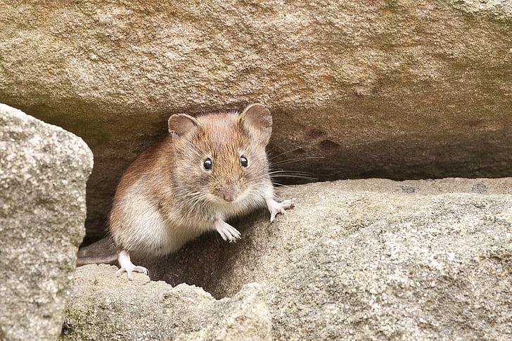 Maus, Natur, Nagetier, ein Tier, tierische wildlife, Tier, Tiere in freier Wildbahn