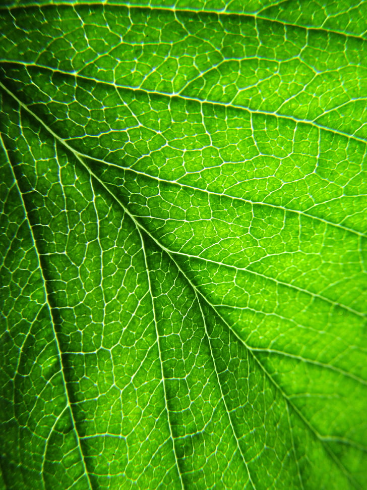 leaf, plant, leaves, green, green leaf, leaf veins, dark green