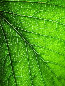 foglia, pianta, foglie, verde, foglia verde, vene del foglio, verde scuro