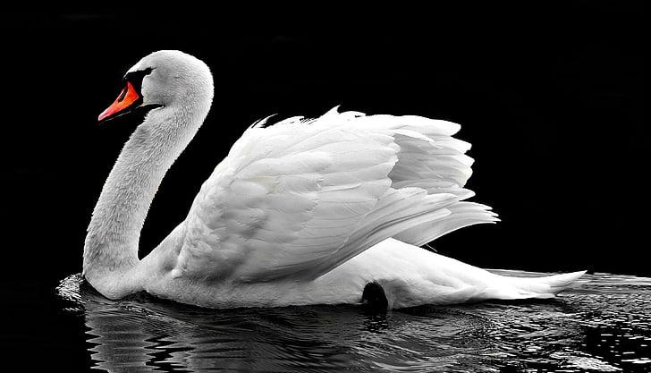 cygne, eau, blanc, oiseaux d'eau, Lac, nature, cygne blanc