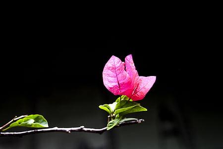 lill, Makro, Kaunis, mustal taustal, ebakindluse, Roosi - lill, kroonleht