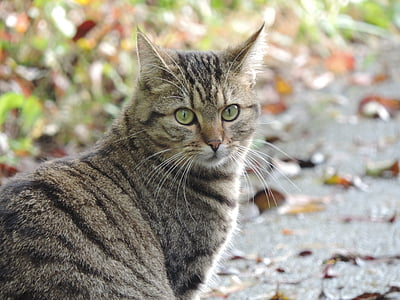 cat, nature, autumn, domestic cat, tiger cat