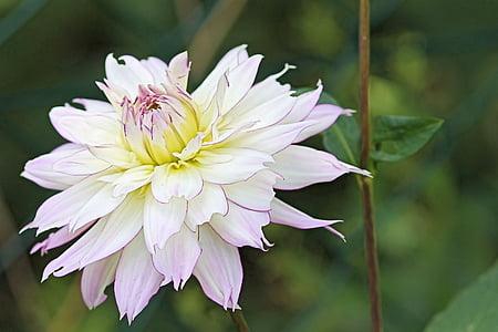 dàlia, flor, flor, blanc, jardí de dàlia, flor, flor de tardor