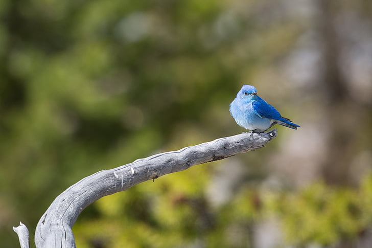 mountain bluebird, perched, bird, wildlife, nature, limb, tree