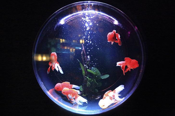 Аквариум, Рыба, воды, пузыри, животное, плавник, Золотая рыбка