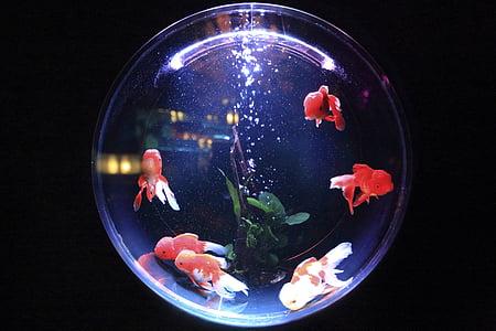 akvarij, riba, vode, mjehurići, životinja, Peraja, Zlatna ribica