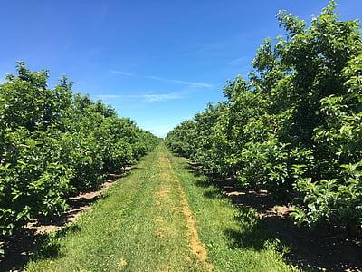 õuna, Orchard, puu, Apple, loodus, põllumajandus, puu