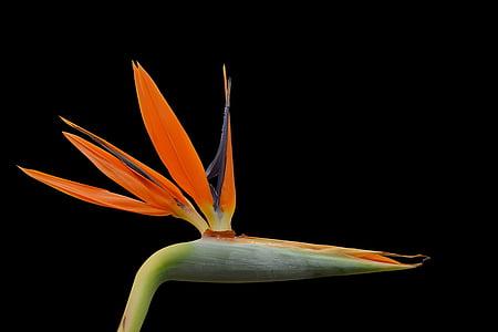 strelizie, blossom, bloom, orange, exotic, color, bright colours
