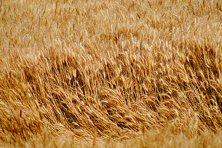 blat, camps de blat, cereals, Epi, camps, collita, l'agricultura