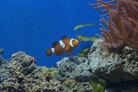 Nemo, Aquari, Peix pallasso, peix, escull de corall, sota l'aigua, escull