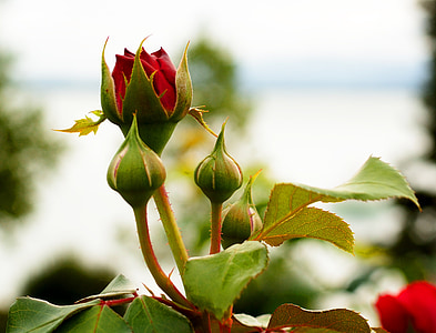 rosa vermella, Rosa, brot, flor, flor, vermell, flor rosa