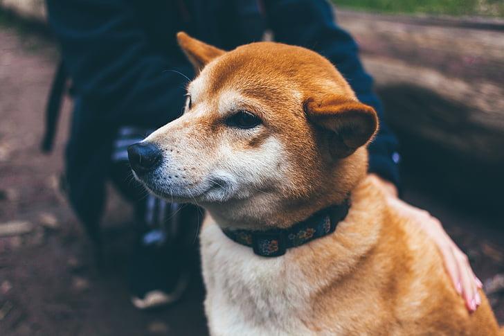 dog, canine, pet, face, collar, animal, cute