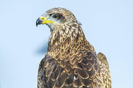 bird of prey, kite, bird, zoo, beak