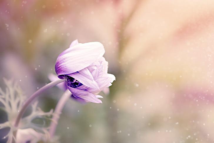 Anemone de, flor, violeta blanc, flor, flor, jardí de flors, planta