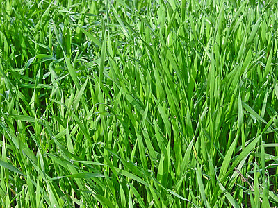 tráva, Zelení, jar, Príroda, zelená tráva, detailné