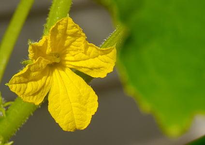 cogombre, flors, groc, fulla, verd, jardí, Otsu