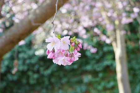 japanese cherry trees, flowers, japanese flowering cherry, ornamental cherry, japanese cherry, cherry blossom, blossom