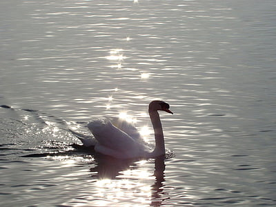 animal, ocell, Cigne, Llac, Alba, Alba, l'aigua