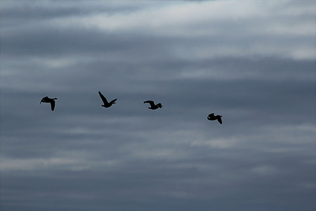 birds, clouds, sky, fly, swarm, flock of birds, bird