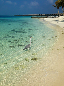 maldives, beach, bird, sea, sand, nature, summer