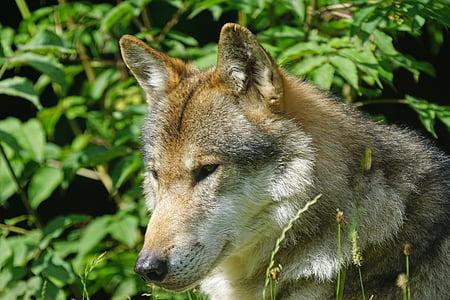 Wolf, Predator, Pack looma, kiskjaliste, imetaja, portree, eluslooduse fotograafia