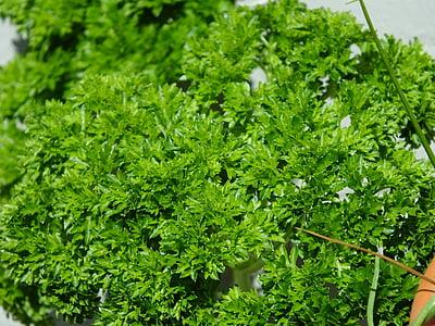 julivert, herbes, planta, espècies, verd, herbes de cuina, aliments