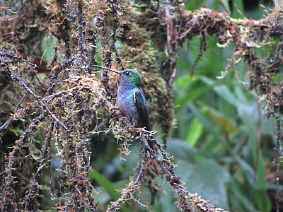 nature, bird, wild, jungle, ecuador, humming bird