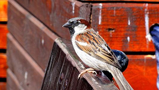 врабче, врабче общи, птица, ptaszę, малка птичка, wróbelek, перо
