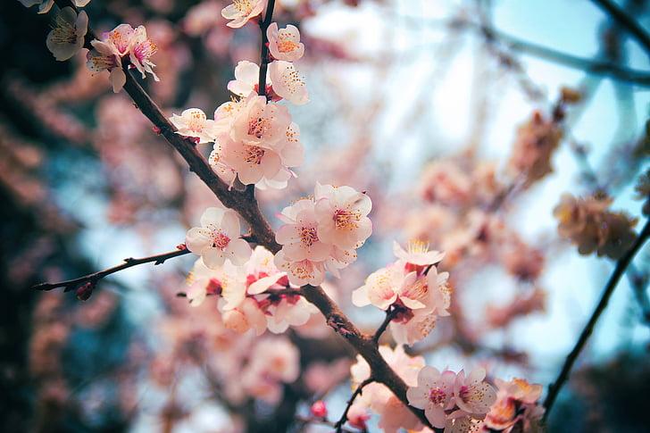 flor del cirerer, Daegu, fusta