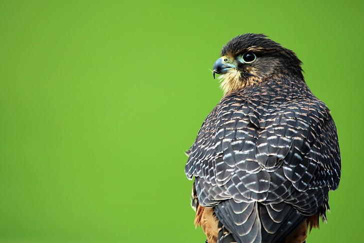 aplomado falcon, bird of prey, hawk, bird, beak, falcon, falconry