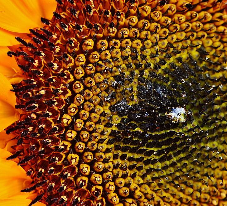 Цветок солнца, Семена подсолнечника, Лето, завод, Цветы