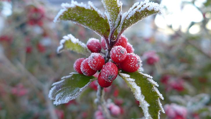 finales de otoño, madura, escarcha, bayas, rojo, frío, morgenrot