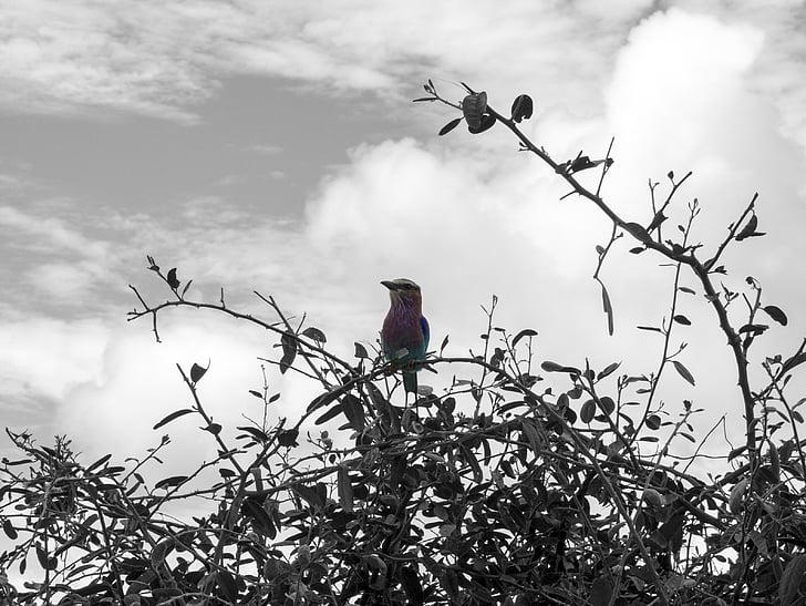 птица, многоцветни, Черно и бяло, Африка, цветни, цветове, мулти