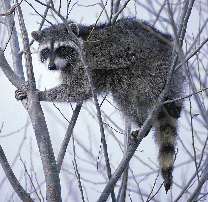 raccoon, oregon, tree, branches, limbs, nature, outside