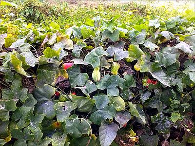 jardí, vegetals, fresc, cogombres, verd, vermell