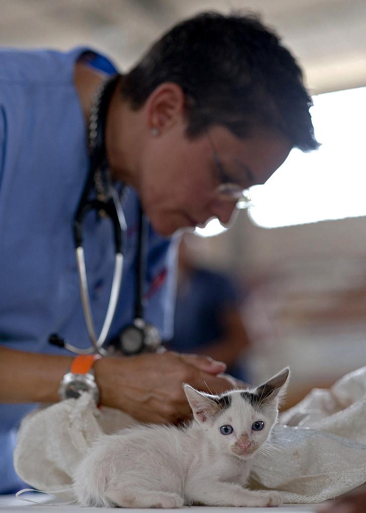 gatet, veterinari, felí, metge, pelatge, gat, gatet