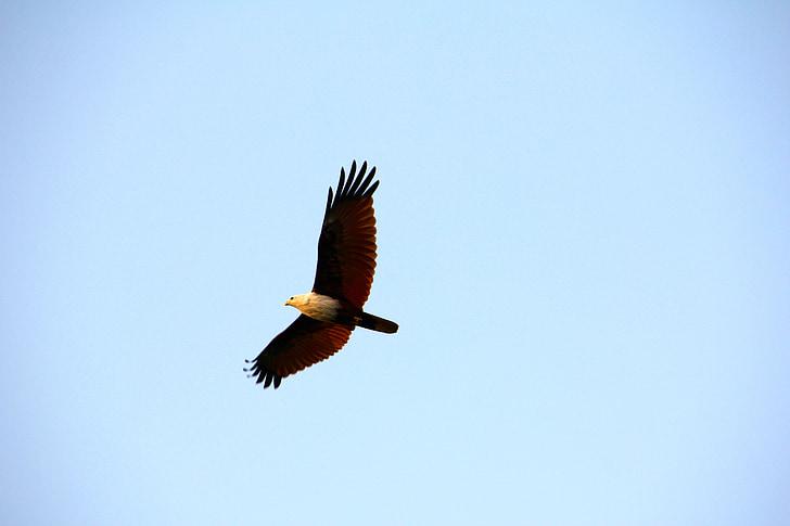 Adler, valkoinen pyrstö eagle, Raptor, lentää, kalju kotka, lintu, Flying