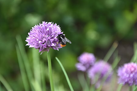 flor, cebollino, abeja, hierbas, flor de cebollino, jardín, insectos