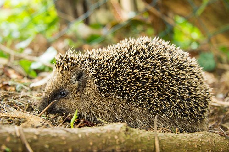 hedgehog, rừng, động vật, đóng, Dễ thương, động vật nhỏ, gai