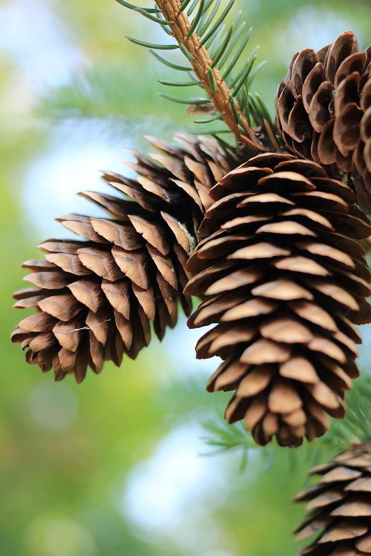 šiškami, borovica, borová šiška, jeseň, borovice, borovica horská, stromy