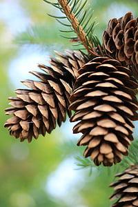 pinecones, mänd, Käbi, sügisel, mändide, Mägimänd, puud