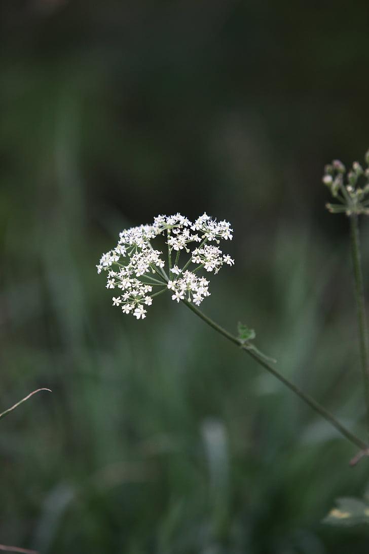 vaca julivert, cerfull salvatge, julivert Zífid salvatge, Keck, encaix de la Reina Anna, blanc, males herbes